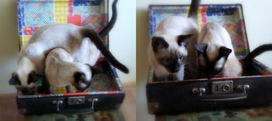кошки примеряют чемодан