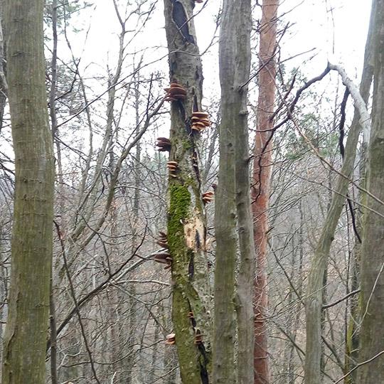 целое дерево вёшенок, но слишком высоко - запасы для белок