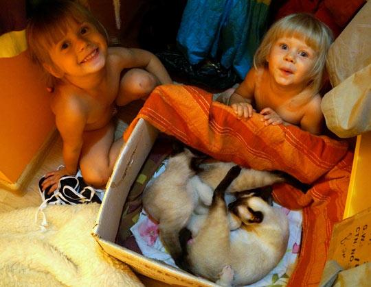 сиамские кошки с котятами